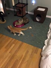 iPhone 3970 (mary2678) Tags: tewksbury massachusetts ma kitty kitten cat maine coon chele kvothe