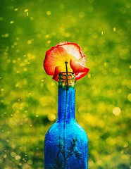 bottled poppy (auntneecey) Tags: poppy sprinklers water splashes odc waterdrops 365the2017edition 3652017 day178365 27jun17
