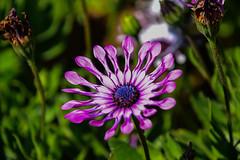 DSC_0449 (JZ_Photography) Tags: flowers africandaisy daisy
