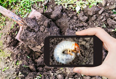 467436830 (Big League Lawns) Tags: smartphone junebeetle photographythemes nonurbanscene photography pest pubfood digging vegetablegarden plow planting gardening working photograph photographer plowedfield mobility growth white agriculture ruralscene humanhand caterpillar larva worm beetle insect dirt plantation field land formalgarden computermonitor mobilephone telephone shovel arable chafer clods tillage plowing