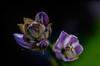 smooth (Hosta, study) (tuvidaloca) Tags: makro heyday dof infloreszenz flower blossom vistadecerca estudio desenfoqueparcial desenfoque macro naturaleza nahaufnahme nature natur studie blütezeit inflorescencia floración apogeo bokehextreme study closeup flor bokeh primerplano blütenstand inflorescence blüte blooming hosta funkie