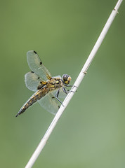 Photo of Four Spotted Chaser