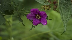 thimbleberry (1 of 1) (aukalou83) Tags: thimbleberry flower magenta foraging fruitful forest hiking outdoors wilderness