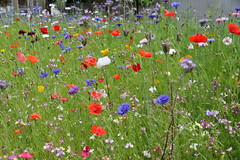 Wild flower garden (roger_forster) Tags: historicaldivingsociety hds bunker pictorialmeadows classic mix seed wild flowers garden bees insects alverstoke gosport hampshire