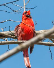 04102017-160-3+ (bjf41) Tags: cardinal northern re edit redo red bird tree