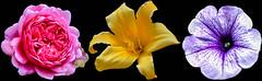 FLOWERS (samuel.t18) Tags: flowers pink purple yellow colourful colour plant hodnet gardens three triple collection sam nikon d3200