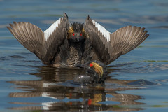 Trying to Impress (Amy Hudechek Photography) Tags: eared grebe bird courtship dance display colorado nature wildlife amyhudechek