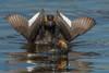 Trying to Impress (Amy Hudechek Photography) Tags: eared grebe bird courtship dance display colorado nature wildlife amyhudechek arapahonationalwildliferefuge nikond500