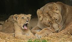 asiatic lion Planckendael JN6A9945 (joankok) Tags: leeuw lion lioncub asia azie aziatischeleeuw asiaticlion pantheraleopersica animal planckendael planckendaal mammal zoogdier dier