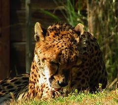 Guépard (Iliana Charneau) Tags: guépart savane afrique animaux sauvage rapide nature