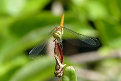 """Lachende libel """"It's the little things"""" 26-52 Explore 27062017 (Olga and Peter) Tags: libel dragonfly fp1150618 macro"""