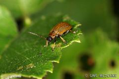 Käfer (binax25) Tags: käfer bug tier makro macro animal insekt insect natur nature summer sommer fauna blatt fühler flügel augen