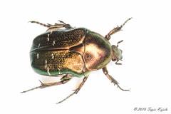 Cetonia aurata (Hyönteismies) Tags: cetoniaaurata coleoptera kultakuoriainen pmökki scarabaeidae dettk kovakuoriainen lehtisarvinen lehtisarviset studio