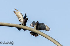 DSC-7680 (Sunil - Bhoj) Tags: birds pigeons nikond7200 tamron70300