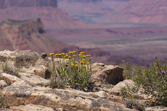 rock goldenrod, Petradoria pumila (Jeff Mitton) Tags: rockgoldenrod topoftheworld utah coloradoplateau redrockcountry wildflower petradoriapumila earthnaturelife wondersofnature