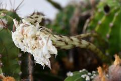 Ed alla fine della bellezza rimane solo il ricordo (Paolo Bonassin) Tags: flowers cactaceae cactacee cactus succulente echinopsis