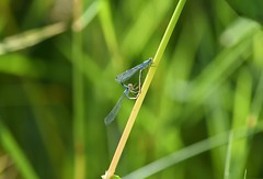Damselflies (careth@2012) Tags: damselflies nature wings wildlife britishcolumbia
