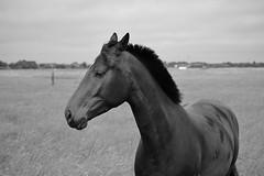 Pferd (LuckyMeyer) Tags: pferd sommer haustier weide sylt schwarz weiss horse black white nature insel walk summer animal