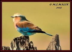 LILAC - BREASTED ROLLER (Coracias caudata).....MASAI MARA......SEPT 2015 (M Z Malik) Tags: nikon d3x 200400mm14afs kenya africa safari wildlife masaimara kws exoticafricanwildlife exoticafricanbirds ngc