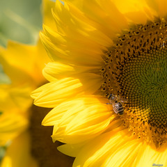 Have a nice weekend (moniquevantorenburg) Tags: sunflower zonnebloemen bee bij flower bloem yellow geel m43 microfourthirds mft olympus4015028pro olympusomdem5markii moniquevantorenburg