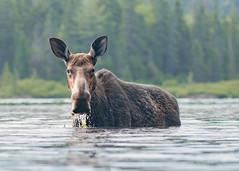Orignale - Moose (Anthony Fontaine photographe animalier) Tags: