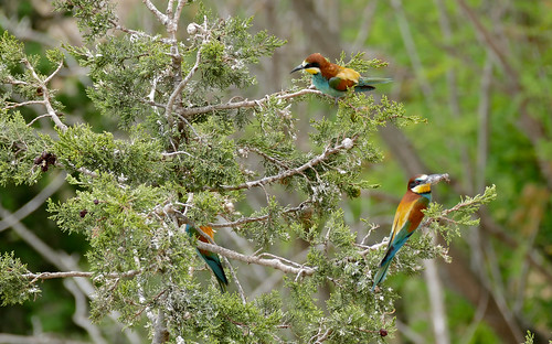 European Bee-eaters (Merops apiaster)