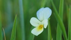 Pensée solitaire (passionpapillon) Tags: fleur flower fiori flor nature pensée macro passionpapillon 2017