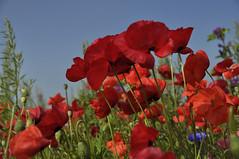 It's Poppy Time in Flanders ... (*Lie ... on & off ... too busy !) Tags: klaprozen poppies coquelicots mohn flanders inflandersfields rodebloemen redflowers roteblumen fleursrouges zomer summer sommer été invlaamsevelden vlaamsewesthoek vlaamsepolders oostduinkerke nikon nikond90 nikkor18200mm rood red rouge rot korenbloem cornflower bleuet