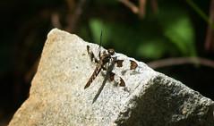 Common Whitetail Female (Black Hound) Tags: sony a500 minolta dragonfly odonata commonwhitetailskimmer shenandoahnationalpark nationalparkservice