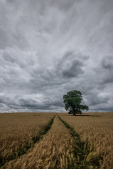 The golden path (grbush) Tags: tree lonetree solitude solitary field farm farming countryside barley crop rural path track clouds sky sonyslta77 tokinaatx116prodxaf1116mmf28 northamptonshire