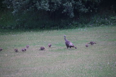 Wild Turkey in Saline, Michigan - July 10th, 2017 (cseeman) Tags: turkeys wildturkeys saline michigan wildlife animals game salineturkey07102017