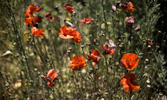 Enfin l'été (CaroDiario) Tags: coquelicots poppy field couleurs rouge vert colors flowers fleurs chantier friche soleil printemps été summer rue street photoderue streetphotography panasonicdcgh5 mitakonspeedmaster25mmf095 végétationurbaine