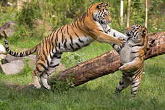 Attacke 2 (Mel.Rick) Tags: natur tiger siberiantiger sibirischertiger amurtiger raubtiere raubkatzen groskatzen zooduisburg tiere säugetiere dasha makar pantheratigrisaltaica