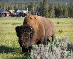 You looking at me? (Jeff_B.) Tags: wyoming yellowstone jackson jacksonhole grandteton nationalpark america usa bison animal lakehotel lakeyellowstone