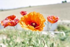 Poppies (kevindalb) Tags: italia italy italie santhià vercelli via francigena viafrancigena fiori flowers fleurs coquelicot papaveri 2017 piemonte