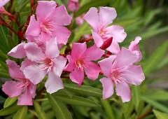 Oleander (Nerium oleander) (HEN-Magonza) Tags: botanischergartenmainz mainzbotanicalgardens rheinlandpfalz rhinelandpalatinate deutschland germany flora oleander neriumoleander