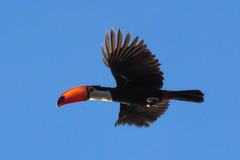Toucan in the Air (Marcelo J O) Tags: toucan air wild lone alone bird flight flying wings free sky high bright clear blue