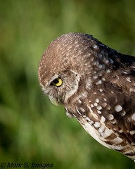 Burrowing Owl (Mark S. Images) Tags: burrowingowl