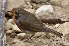 Robin (Bri_J) Tags: tropicalbutterflyhouse northanston sheffield southyorkshire uk yorkshire nikon d7200 robin bird wildbird sigma150600mm