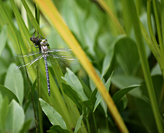 Before the first flight (Magreen2) Tags: dragonfly larvae hatchingout pond water leaves waterplants nature life libelle larvenhülle teich pflanzen blätter wasser