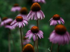 _IGP8336.jpg (DWO630) Tags: 90mm pentaxk01 flowers garden lewisginter lewisginterbotanicalgarden lgbg macrolens primelens richmond rva tamron90mmmacro va virginia