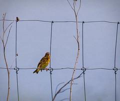 Jailbird!   ....HFF (jackalope22) Tags: hff bird warbler neal smith