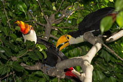 Toco Toucan Mom and Chick (San Diego Zoo Global) Tags: birds toucan chicks babyanimals animals nature sandiego sandiegozoo tocotoucans toucans colorful cute baby chick wildlife bird