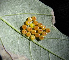 Rosy Maple Moth Eggs (Sea Moon) Tags: insect lepidoptera brood ova eggs yellow leaf tree bug nocturnal moth pittsburgh