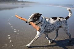 a perfect summer morning (Claudia Künkel) Tags: oregon beach blanca bordercolliemix stick dog