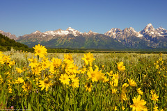 A view of the Grand Tetons from Antelope Flats (Jeff_B.) Tags: wyoming yellowstone jackson jacksonhole grandteton nationalpark america usa antelopeflats antelope flower yellowflowers