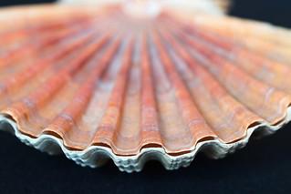Auster Unterseite / Oyster bottom