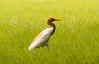 Egret (mshubhajyoti) Tags: shubhajyotimohapatra shubhajyotiphotography birdsiitk bird birdwatcher egret ngc nikonian flower simplysuperb