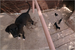 hello!, jodhpur (nevil zaveri (thank you for 15 million+ views)) Tags: zaveri india jodhpur gate dog mammals animals railing heritage rajasthan photography photographer images photos blog stockimages photograph photographs nevil nevilzaveri stock photo old street puppy