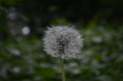A lonely old dandelion (anthonyvareberg) Tags: outdoors nature green d7000 color nikon white dandelion